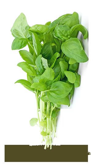 - Basilic vert