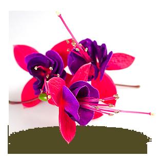 - Fuchsia