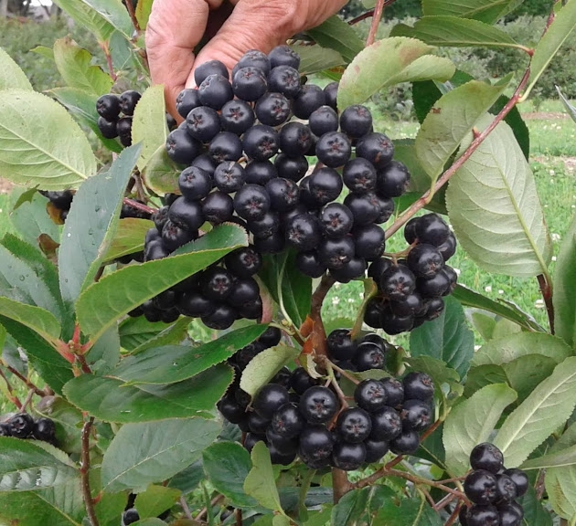 aroniasuperfruits