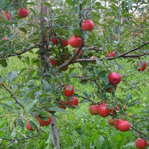 Les Roy de la pomme Enr.
